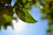 Αρνάκι με λεμονόφυλλα της Μεσογείου