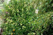 Φετινά γλυκά λεμόνια